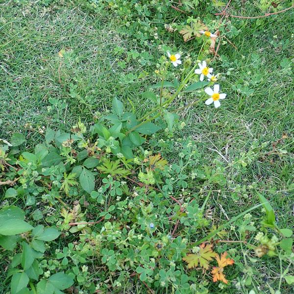 芝生に生えるタチアワユキセンダングサ