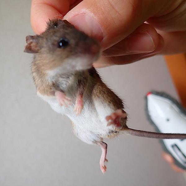 宮古島の野そ(野ネズミ)